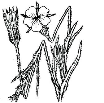 coste-agrostemma-githago