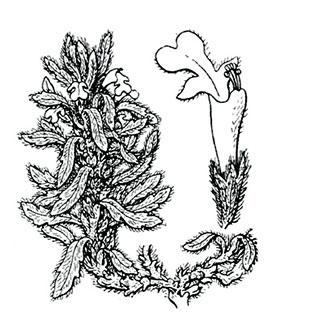 coste-ajuga-iva-pseudoiva