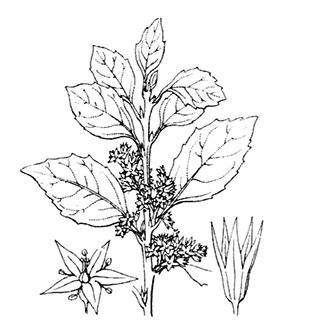 coste-rhamnus-alaternus