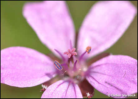 erodium-cicutarium-bec-de-grue
