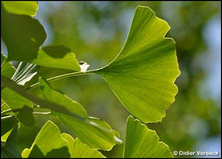 ginkgo-biloba-arbre-aux-quarante-ecus