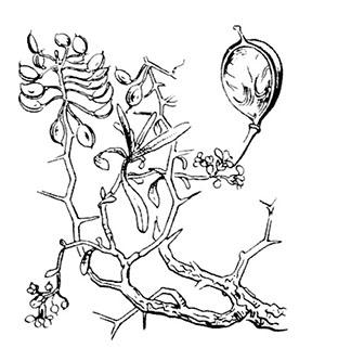 coste-hormathophylla-spinosa