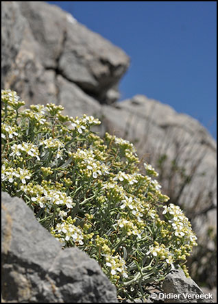 hormathophylla-spinosa-alysson-epineux