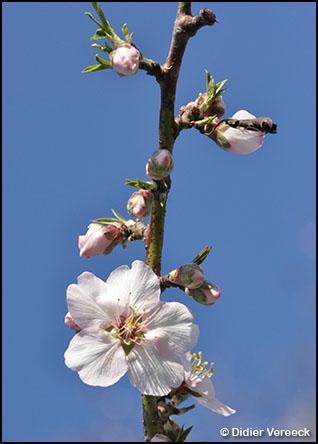 prunus-dulcis-amandier